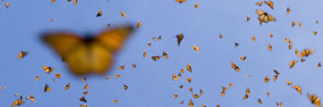 Monarch butterflies flying in warmth of midday sun,  Mexico