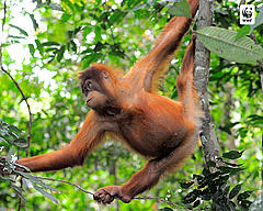 Young orang utan, Jambi, Sumatra, Indonesia