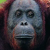 Close-up orangutan