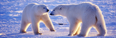 Polar bear mother and her cub in the Arctic