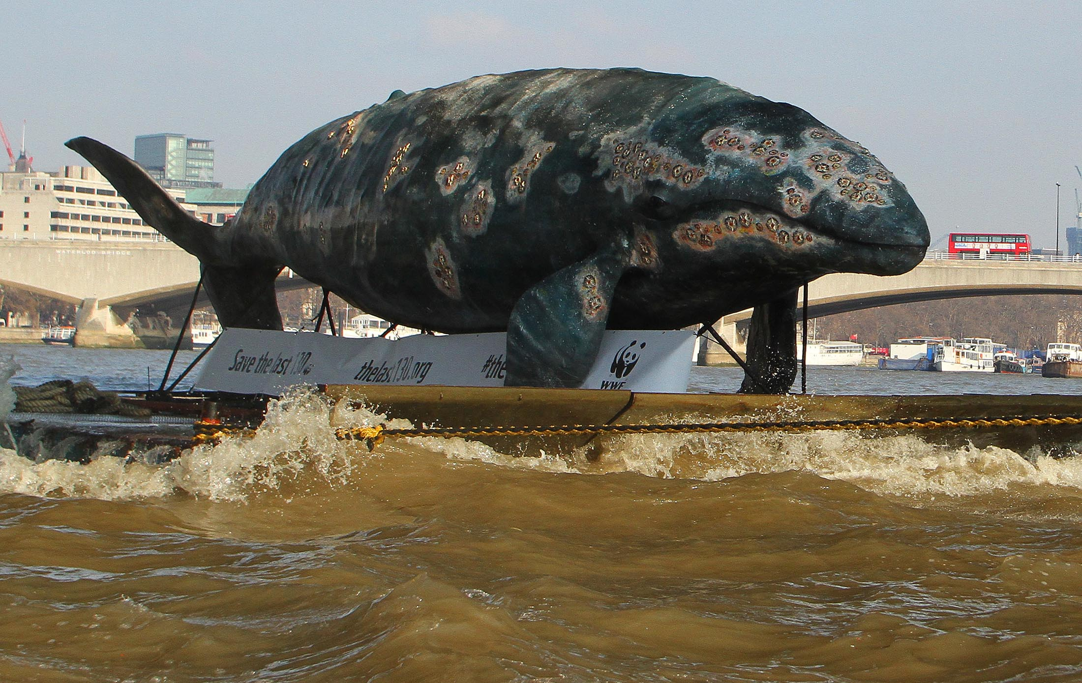 WWF whale on Thames at Houses of Parliament, 7 Feb 2012 - part of western gray whale campaign - © Geoff Caddick / PA