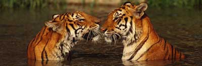 Indian tigers in the water, facing each other