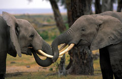 Two young African elephants play-fighting © Martin Harvey / WWF-Canon