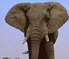 African savanna elephant - © Martin Harvey / WWF-Canon