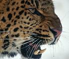 Amur leopard - © naturepl.com / Lynn M. Stone / WWF-Canon