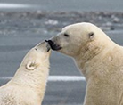 Polar bears touching noses