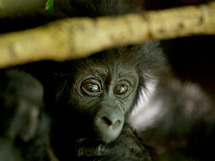 Adopt a baby gorilla with WWF