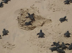 Baby loggerhead turtles struggle their way to the sea, Cape Verde