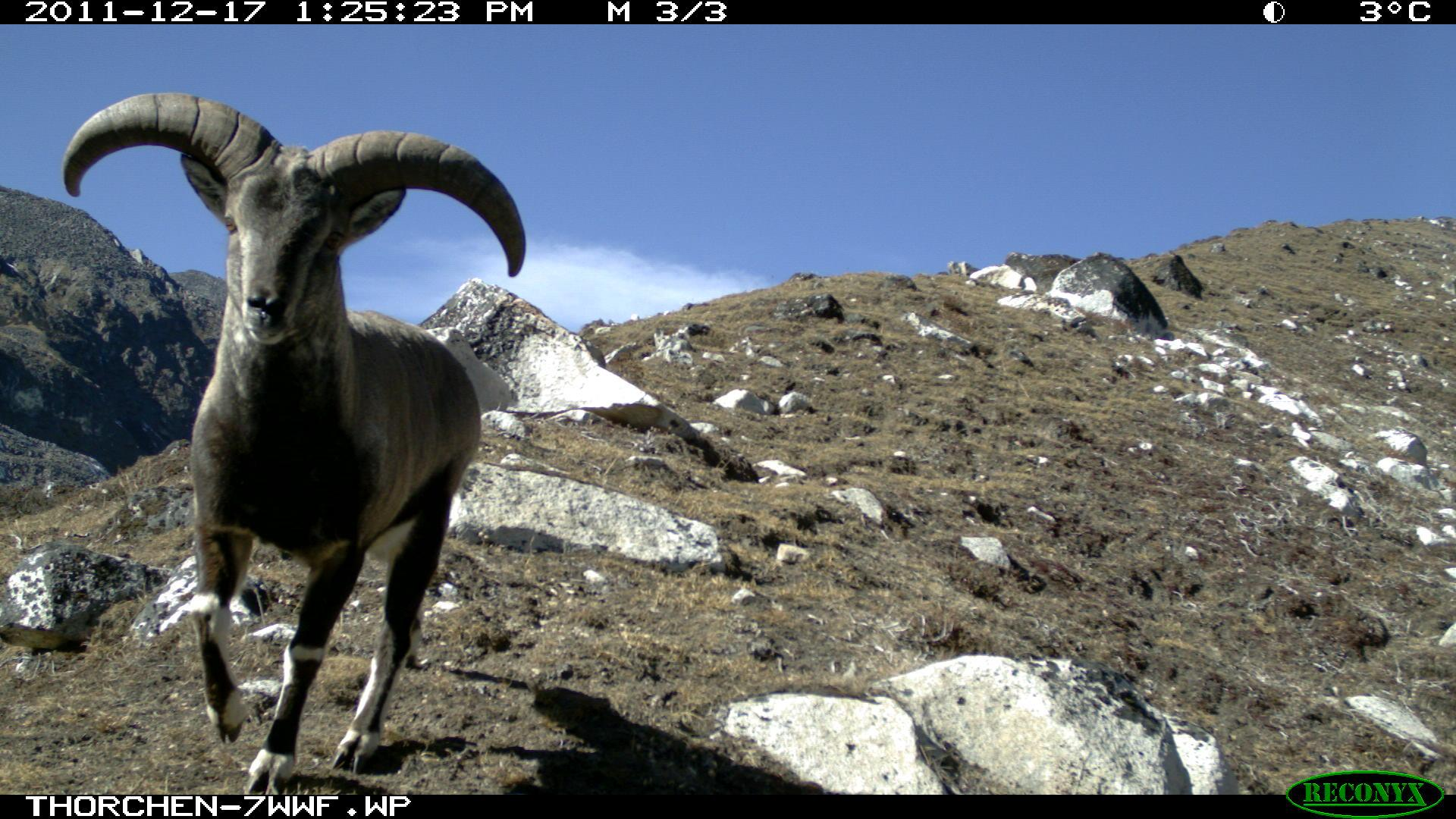 Blue sheep, camera trap image, Wangchuck Centennial Park, Bhutan, October-November 2011 © Royal Government of Bhutan (DoFPS) and WWF
