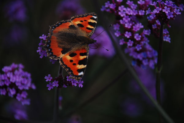 Butterfly on purple flowers © Christian Cartwright