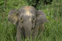 Bornean pygmy elephant with satellite collar, Sabah, North Borneo © A. Christy Williams / WWF-Canon