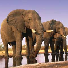 African elephants at water-hole © Martin HARVEY / WWF-Canon