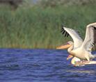Great white pelican - Ukraine - © Anton Vorauer / WWF-Canon