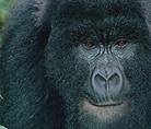 Mountain gorilla - © naturepl.com / Bruce Davidson / WWF-Canon