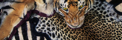 Tiger and other skins confiscated at Heathrow Airport. United Kingdom