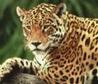 Jaguar in a tree, Brazil - © Y.-J. Rey-Millet / WWF-Canon