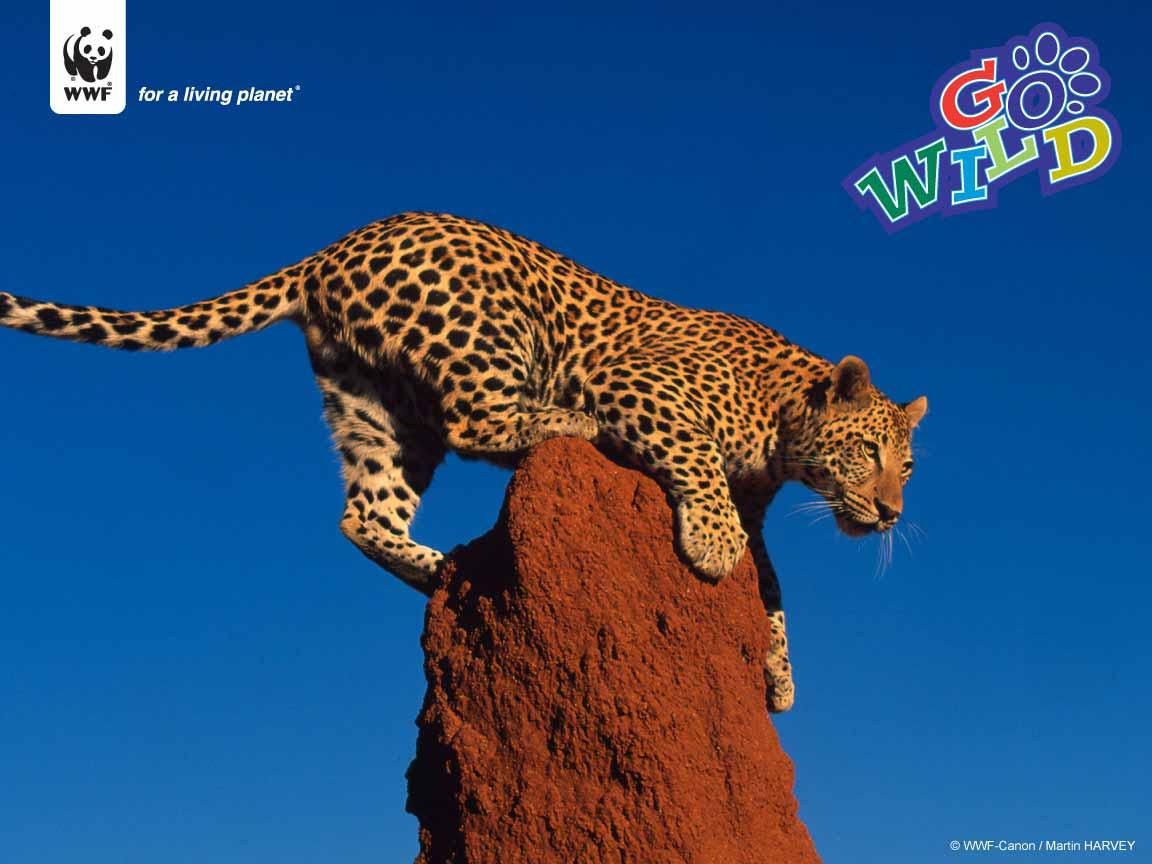 http://assets.wwf.org.uk/img/original/leopard1152.jpg