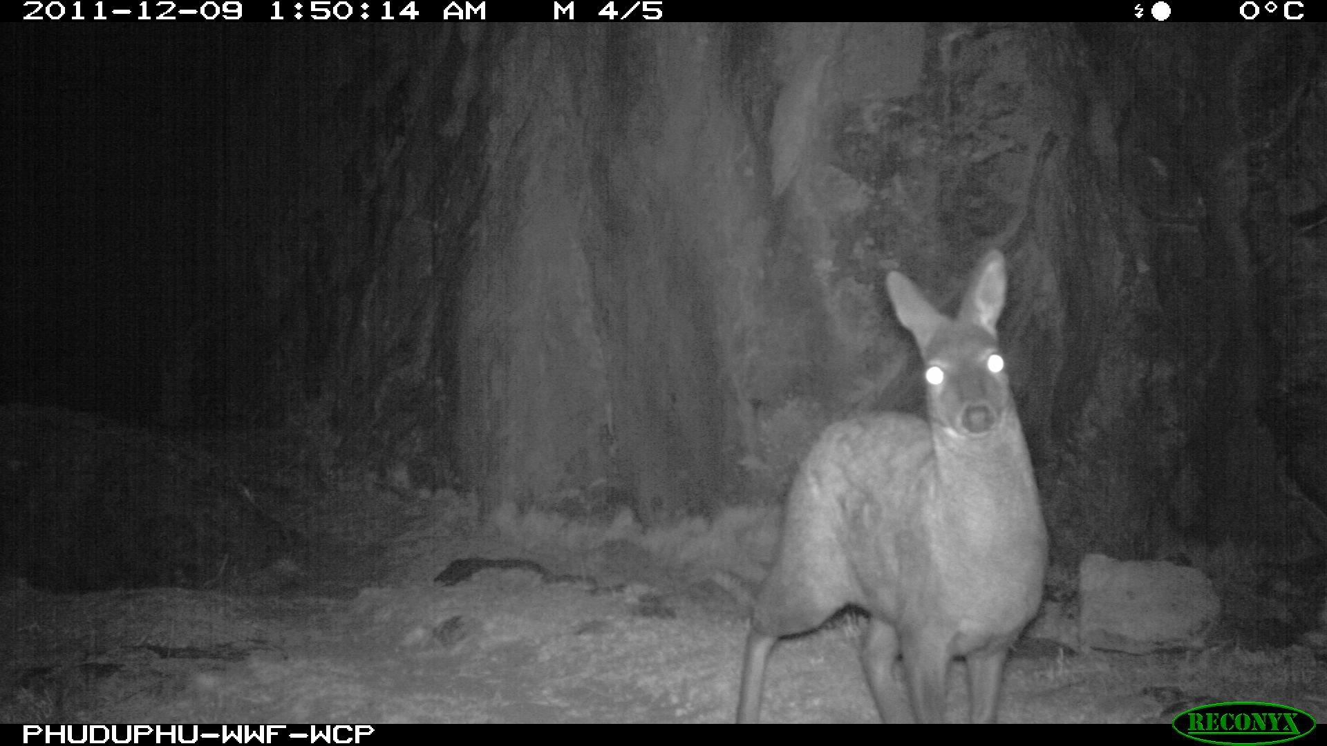 Musk deer, night-time camera trap image, Wangchuck Centennial Park, Bhutan, October-November 2011 © Royal Government of Bhutan (DoFPS) and WWF