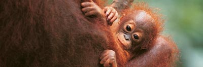 Young orang-utan in it's mother's arms