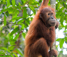 Young orang utan - © Fletcher & Baylis / WWF-Indonesia