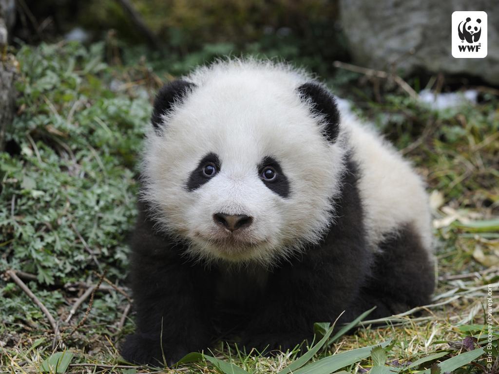 Cute Baby Panda Wallpa...