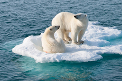 Two polar bears on ice