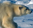 Polar bear - © Michel Terrettaz / WWF-Canon