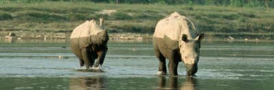 Two young Indian rhinoceros (Rhinoceros unicornis)  crossing the river in Royal Chitwan National Park