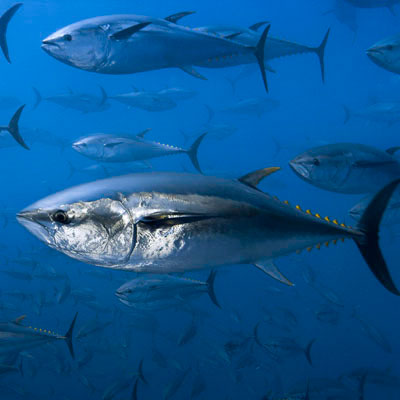 Northern bluefin tuna © Brian J. Skerry / National Geographic Stock / WWF