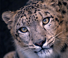 Snow leopard - © National Geographic Stock /Jason Edwards / WWF