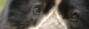 Spectacled bear, close-up of eyes