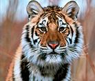 Amur or Siberian tiger - © Klein & Hubert / WWF