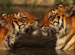 Two Indian tigers in the water