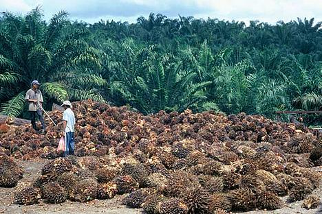Harvesting palm oil fruits.  Palm oil plantation in Sabah (Borneo), Malaysia.