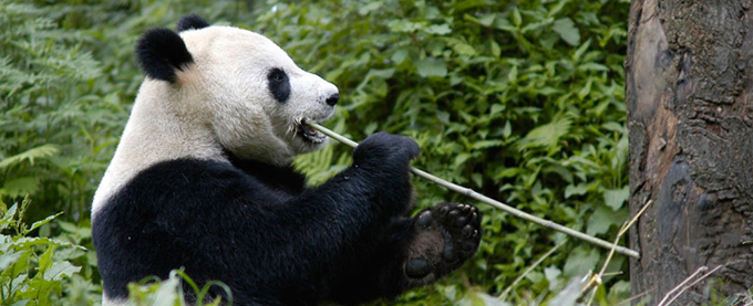 Giant Panda eating bamboo shoot