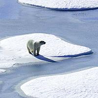 Polar bear on Arctic ice