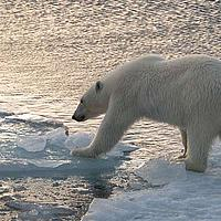 Polar bear (Ursus maritimus) walking on ice, trying to reach next ice floe. 