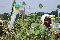Pheromone trap amongst cotton plants