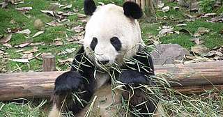 Pandas are very selective when it comes to bamboo
