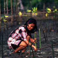 A mangrove planting program. Tumbak, northern Sulawesi, Indonesia