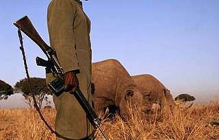 Black rhinoceros Under 24 hour armed guard due to risk of poaching Africa
