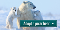 Adopt a polar bear
