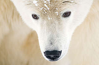 Polar bear, head close-up portrait of an adult male