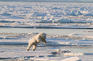 Polar bear jumping on ice