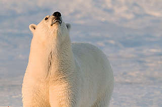 Polar bear sniffing the air