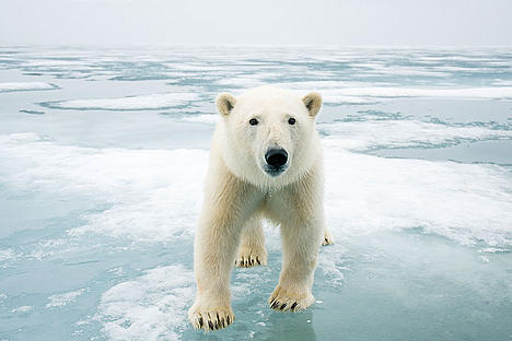 Polar bear walking on Arctic ice