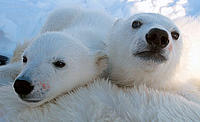 Two Polar bear (Ursus maritimus) cubs, Svalbard, Norway. © Jon Aars / Norwegian Polar Institute / WWF-Canon