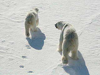 A male and female Polar bear (Ursus maritimus) viewed from a helicopter. Svalbard, Norway. © Magnus Andersen / Norwegian Polar Institute / WWF-Canon