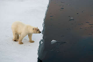 Polar bear (Ursus maritimus) on edge of an ice floe.