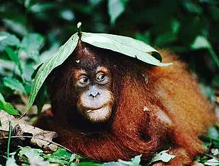 Sumatran orang-utan under leaf shelter,  Indonesia